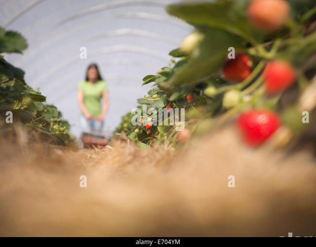 Worker picking strawberries on fruit farm - Stock Image