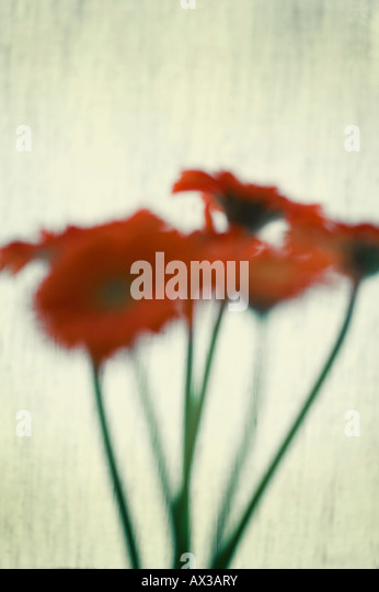Photo-illustration of a bunch of Gerbera flowers - Stock Image