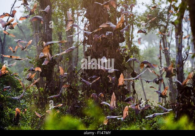 Straw-coloured fruit bats (Eidolon helvum) returning to daytime roost at sunrise. Kasanka National Park, Zambia. - Stock Image
