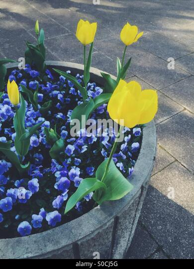Large flower pot with pretty yellow tulips and violets in Spring. - Stock Image