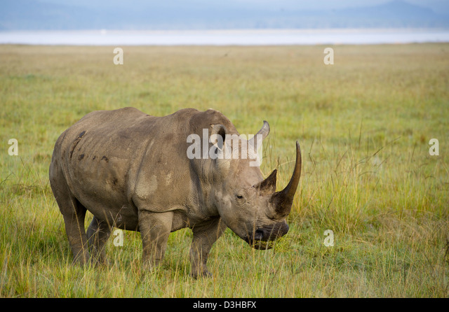 White rhinoceros (Ceratotherium simum), Lake Nakuru National Park, Kenya - Stock Image