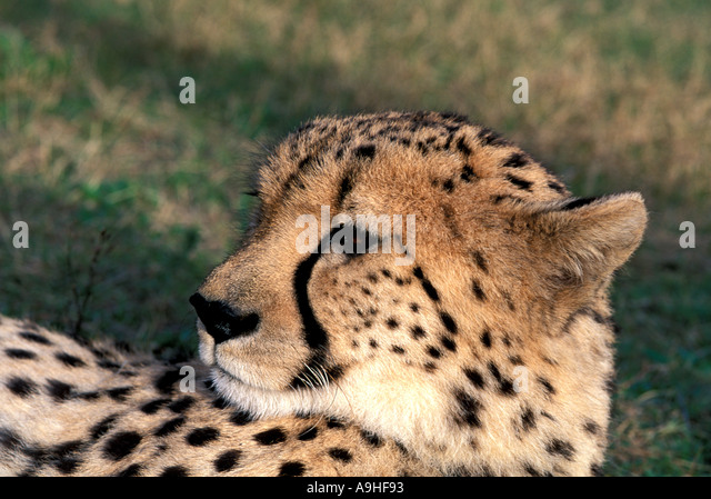 Africa Portrait of Cheetah resting - Stock Image