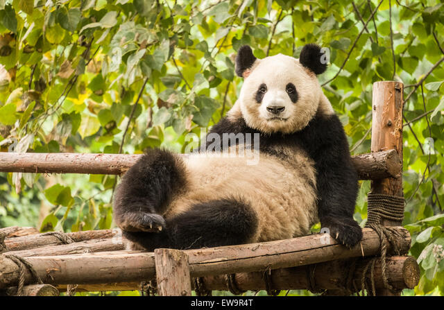 Panda lying down looking forward - Stock Image