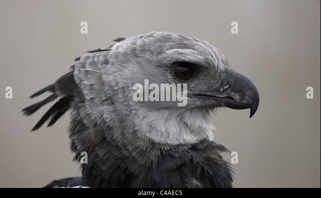 Harpy Eagle Head | www.imgkid.com - The Image Kid Has It!