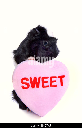 Cute Black and white Valentine Guinea pig or Cavy with pink heart that say s Sweet isolated on white background - Stock Image