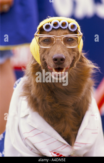 A portrait of a dog wearing glasses and hair-curlers at Scruffts Dog  Show ridiculing Crufts, UK - Stock-Bilder