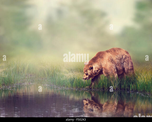 Brown Bear Near the Pond with Reflection - Stock Image