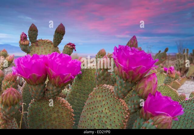 Beavertail Cactus in bloom, Anza-Borrego Desert State Park, California. - Stock-Bilder