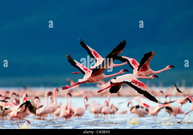 Lesser Flamingo (Phoenicopterus minor) at Lake Bogoria.Kenya - Stock Image