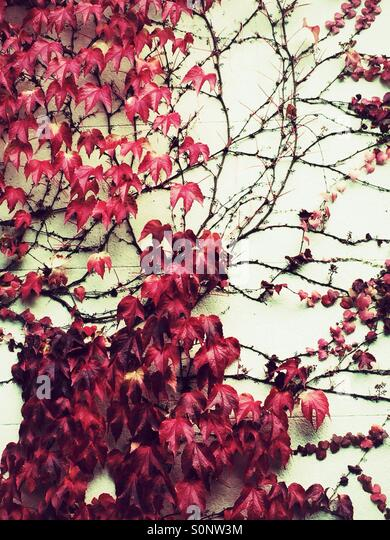 Red ivy leaves - Stock Image