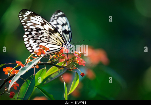 Beautiful butterfly on red flowers - Stock Image