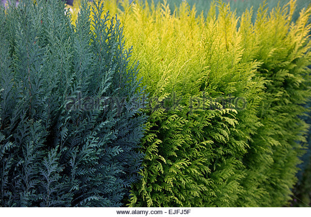 Chamaecyparis lawsoniana -  gold and blue conifer cultivars used as hedge - Stock Image
