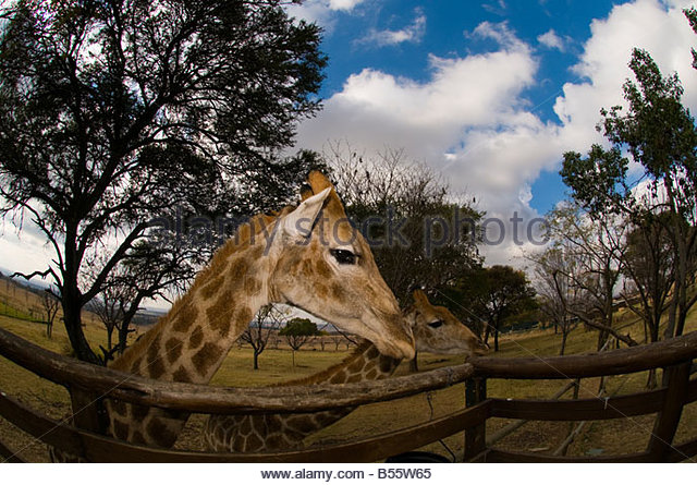 Giraffes Lion Park Johannesburg South Africa - Stock Image