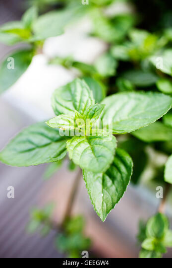 Growing mint in home garden - Stock Image