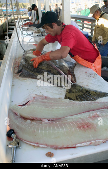 Cleaning halibut at the end of a day angling Seward Alaska USA - Stock Image