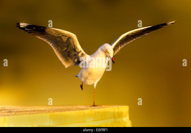 Seagull Landing on wall - Stock Image