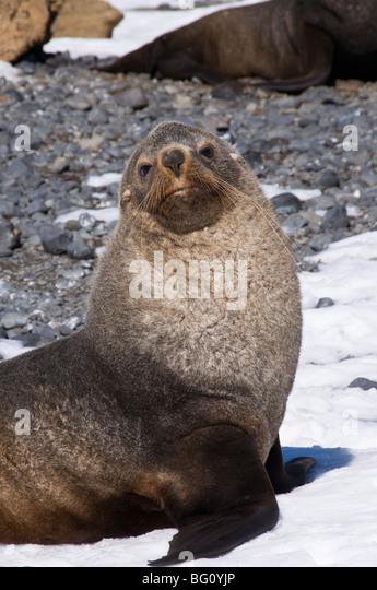 Fur seals at Brown Bluff, Antarctic Peninsula, Antarctica, Polar Regions - Stock Image