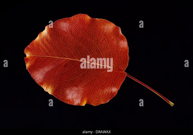 Fall / Autumn Bradford Pear leaf.  Rich bronze coloring on a black background. - Stock Image
