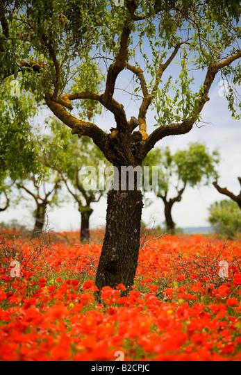 Poppyfield beneath almond trees near Huesca in Spanish Pyrenees - Stock Image