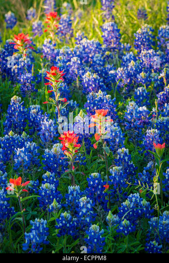 Bluebonnets in Ennis, Texas. Lupinus texensis, the Texas bluebonnet, is a species of lupine endemic to Texas - Stock-Bilder