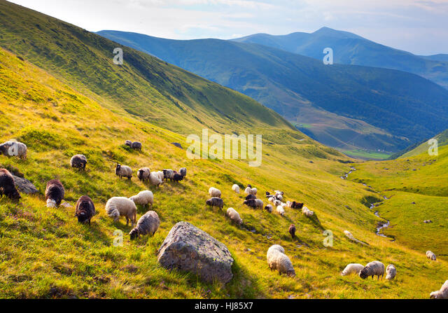 flock of sheep  in the mountains at summer - Stock Image