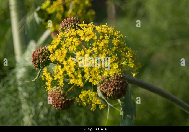 aplaceae ferula communis - Stock Image
