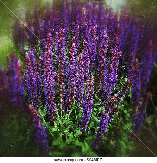 Purple Salvia Superba Flowers - Stock Image