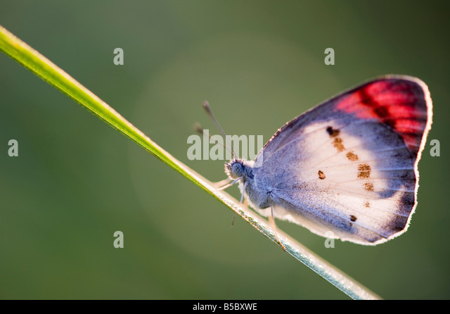 Crimson tip butterfly, Colotis Danae , warming up on a grass stem in the Indian countryside - Stock-Bilder