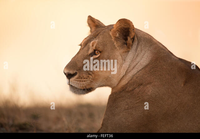 Lioness in the open bushveld - Stock Image