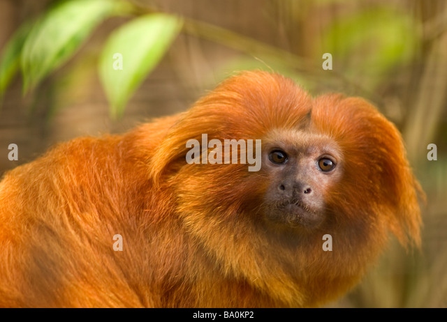 Golden lion tamarin Leontopithecus rosalia - Stock Image
