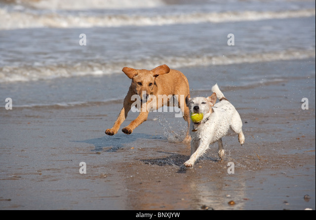 Yellow Labrador Puppy and Jack Russell Terrier running on beach - Stock Image