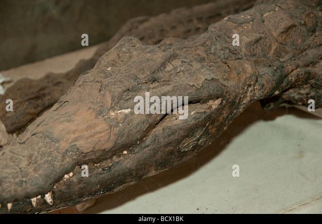 Egypt Kom Ombo temple mummified crocodile head teeth - Stock Image