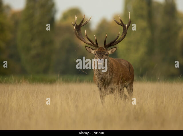 Red deer stag during the rut, UK - Stock Image