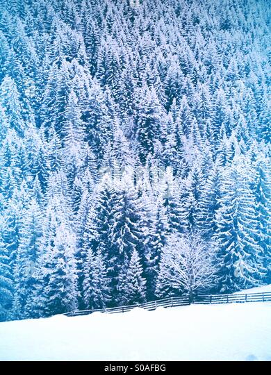 Fir trees covered by snow - Stock-Bilder