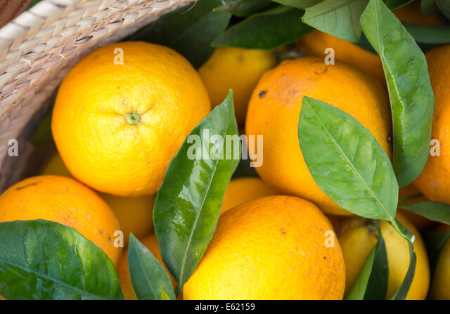 freshly picked from orchard Mallorcan grown Navel Latte oranges in a woven basket - Stock Image