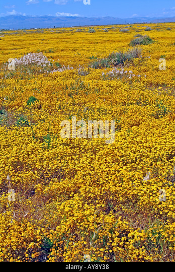 Field of Wildflowers in bloom in sunny southern California Antelope Valley in and around Poppy Reserve Mojave Desert - Stock Image