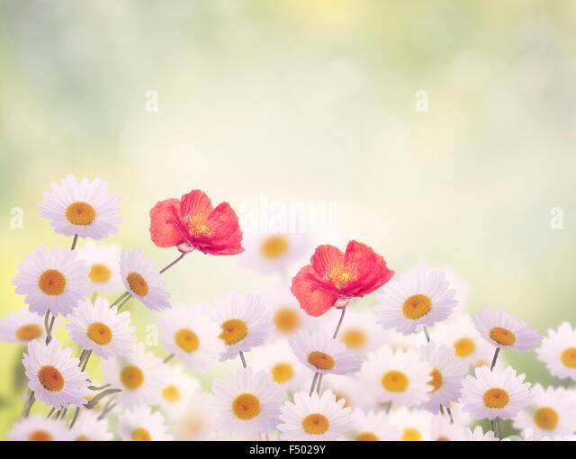 Daisy and Poppy Flowers in The Garden - Stock Image