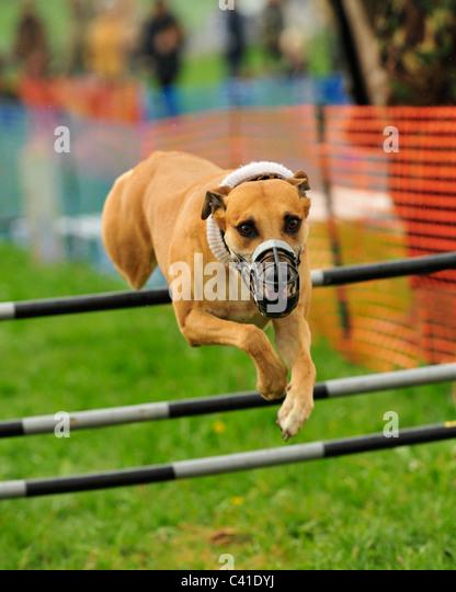 lurcher hurdle racing - Stock Image
