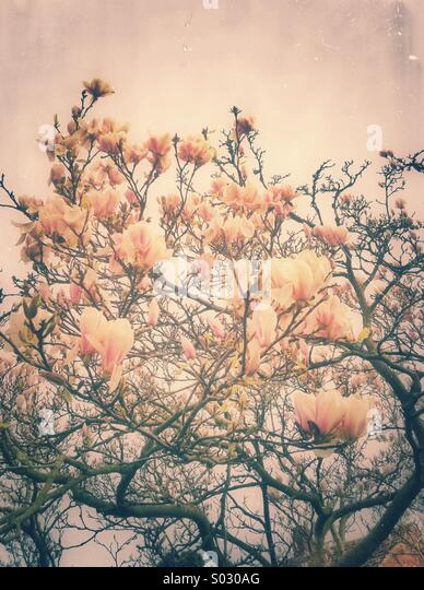 Magnolia flowers tree - Stock Image