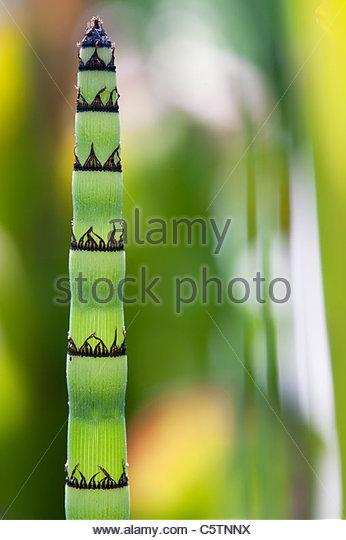 Equisetum Hyemale . Rough horsetail , Scouring Rush plant - Stock Image