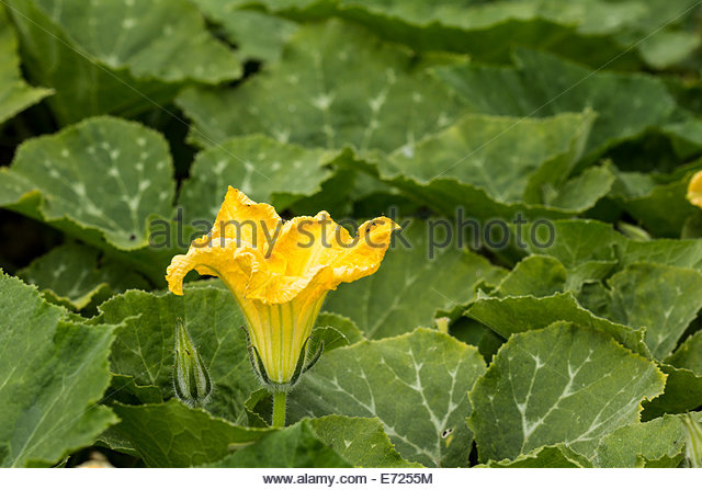 Flower of the butternut squash plant - Stock Image