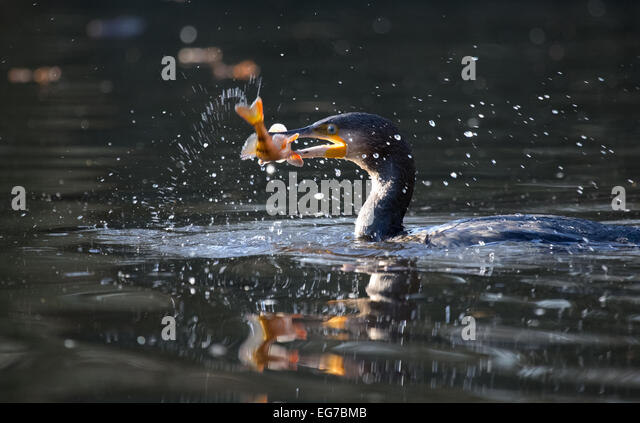 Cormorant with perch in beak, Wimbledon Common, London - Stock Image