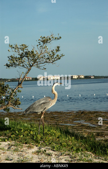Tarpon Springs Florida Sunset Beach Park Great Blue Heron - Stock Image