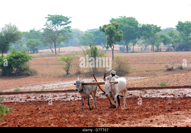 farmer plowing a field with oxen - Stock Image