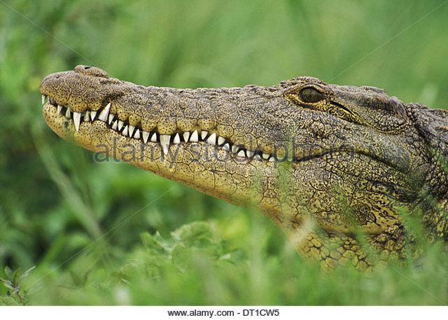 Okavango Delta Botswana Nile crocodile Crocodylus niloticus Okavango Delta - Stock-Bilder