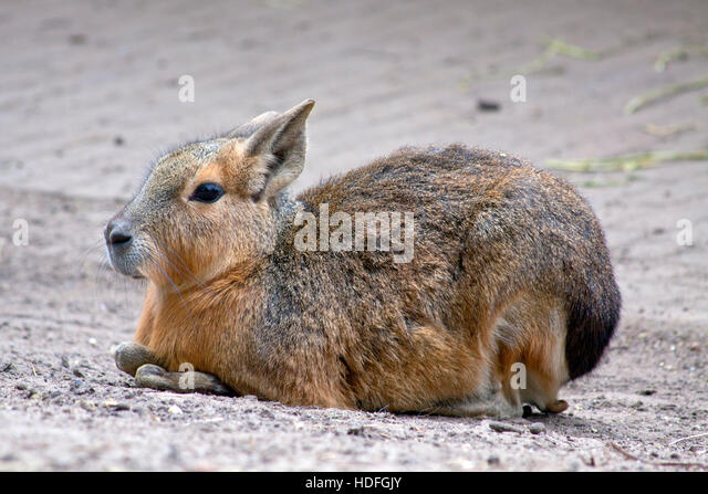 Patagonische mara  lies on the ground for background use - Stock Image