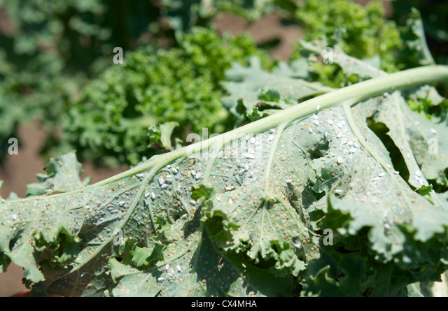 Adults and eggs of the cabbage whitefly (Aleyrodes proletella) on a kale leaf. - Stock Image