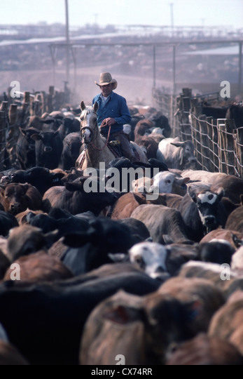 Cowboy moves beef cattle through a 90,000 head feedlot near Yuma Arizona, USA. - Stock Image