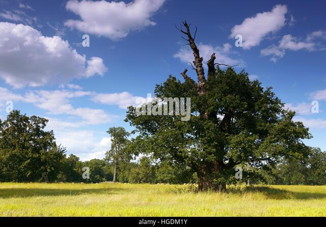 650 year old oak tree, summer, Middle Elbe Biosphere Reserve, Dessau, Saxony-Anhalt, Germany - Stock Image