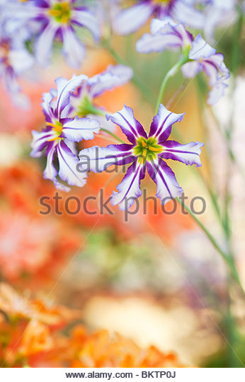 Leucocoryne Vittata, Andean Glory of the Sun Lily - Stock Image